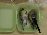 linnut rasiassa